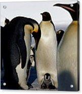 Emperor Penguins Sheltering Chicks Acrylic Print