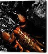 Emperor Scorpion 2.0 Acrylic Print