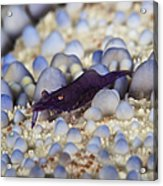 Emporer Shrimp On A Large Pin Cushion Acrylic Print