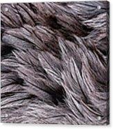 Emu Feathers Acrylic Print