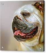 English Bulldog Willie In Profile Acrylic Print by Dorothy Walker