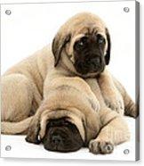 English Mastiff Puppies Acrylic Print by Jane Burton