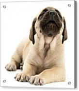 English Mastiff Puppy Acrylic Print