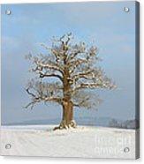 English Oak Acrylic Print