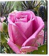 English Pink Rose Close Up Acrylic Print