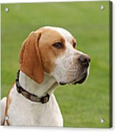 English Pointer Acrylic Print