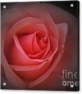 English Red Rose Acrylic Print