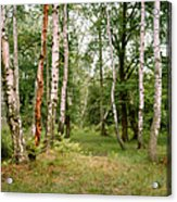 English Woods Silver Birch Trees Acrylic Print