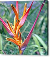 Enhanced Heliconia Acrylic Print by Karen Nicholson