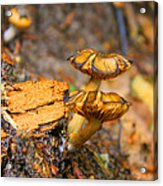 Epworth Mushrooms Acrylic Print