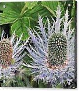Eryngium Alpinum Flowers Acrylic Print