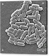 Escherichia Coli, Sem Acrylic Print by CDC/Science Source