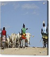 Ethiopia, Hamer Tribe Herding Cattl Acrylic Print by Photostock-israel