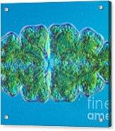 Euastrum Sp. Algae Lm Acrylic Print