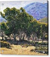 Eucalyptus Grove Catalina  Acrylic Print