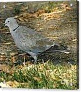 Eurasian Dove Acrylic Print