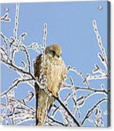 Eurasian Kestrel Falco Tinnunculus Acrylic Print