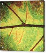 European Beech Fagus Sylvatica Detail Acrylic Print