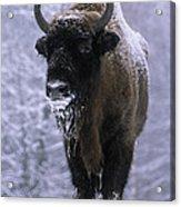 European Bison Bison Bonasus In Snow Acrylic Print