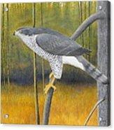 European Goshawk Acrylic Print
