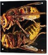 European Hornet On A Mirror Acrylic Print