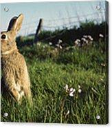 European Rabbit In A Meadow Acrylic Print