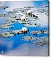 European White Waterlily Acrylic Print
