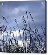 Evening Grass Acrylic Print