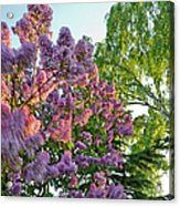 Evening Lilac Acrylic Print