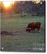 Evening Meal Acrylic Print