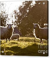 Evening On The Meadow Acrylic Print