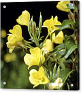 Evening Primroses (oenothera Sp.) Acrylic Print by Cristina Pedrazzini