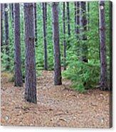 Evergreen Forest Acrylic Print