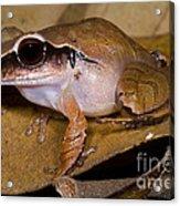 Evergreen Robber Frog Acrylic Print by Dante Fenolio