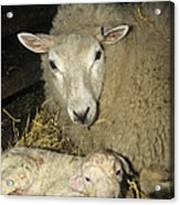 Ewe And New Born Lamb Acrylic Print
