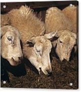 Ewes Feeding Acrylic Print