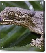 Extreme Close-up Of A Gecko In The Rain Acrylic Print