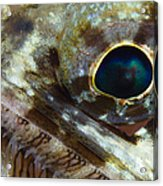 Extreme Close-up Of A Lizardfish Acrylic Print
