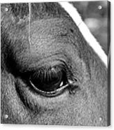 Eye Of The Horse Black And White Acrylic Print
