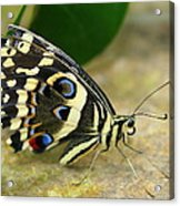 Eye To Eye With A Butterfly Acrylic Print