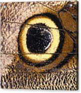 Eyespot On Wing Of Butterfly, Eriphanis Polyxena Acrylic Print