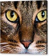 Face Framed Feline Acrylic Print by Art Dingo