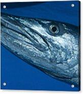 Facial View Of A Great Barracuda, Kimbe Acrylic Print