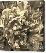 Fading Rose Acrylic Print