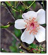 Fairy Crystal Rose-vi Acrylic Print