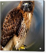 Falco 2 Tinnunculus Vf Acrylic Print