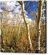 Fall Aspens Acrylic Print