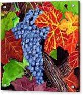 Fall Cabernet Sauvignon Grapes Acrylic Print