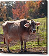 Fall Cow Acrylic Print