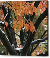 Fall Foliage Of Maple Tree After An Acrylic Print by Tim Laman
